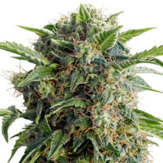 auto daiquiri lime dutch passion seeds netherlands seeds chile santiago maipu online grow shop semillas seeds weed ganja
