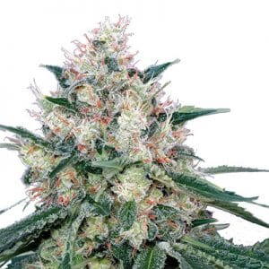 royal caramel royal queen seeds semillas medicinales cbd thc dab bho wax growshop center canamo
