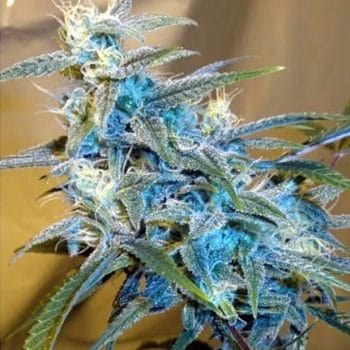 sugarloaf cannabiogen feminizada grow shop maipu growcenter chile semillas cannabis weed ganjah bho thc dab