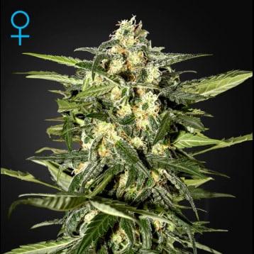 jack herer autofloreciente sativa hibrida ruderalis weed marihuana semillas grow shop center maipu santiago chile