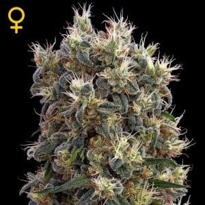 the church feminizada green house seeds strain hunters grow center chile grow shop maipu santiago ganjah cultiva
