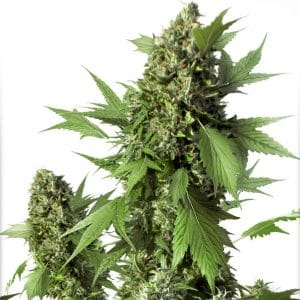 Auto Duck growshop maipu chile sativa indica thc autofloreciente