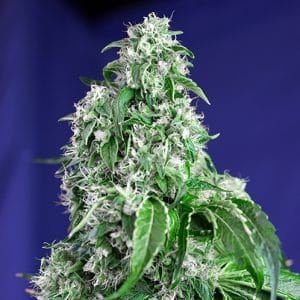 Big Devil F1 Fast Version growshop maipu chile sativa indica thc autofloreciente
