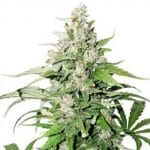Auto Cinderella Jack growshop maipu chile sativa indica thc
