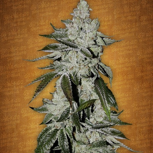 Girl scout cookies (3 UND)