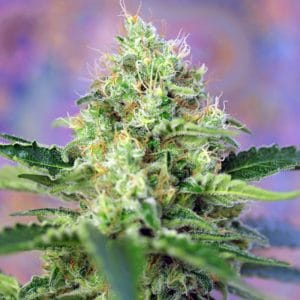crystal-candy-growcenter-growshop