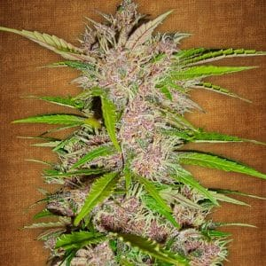 fastberry fast bud growcenter