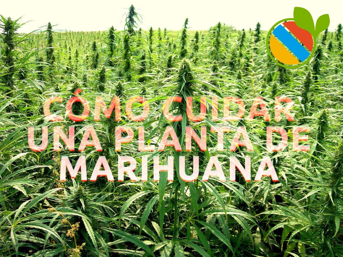 como cultivar o cuidar una planta de marihuana