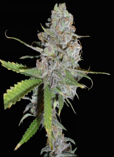 la diva auto le delicious seeds growshop maipu la reina santiago chile envio gratis
