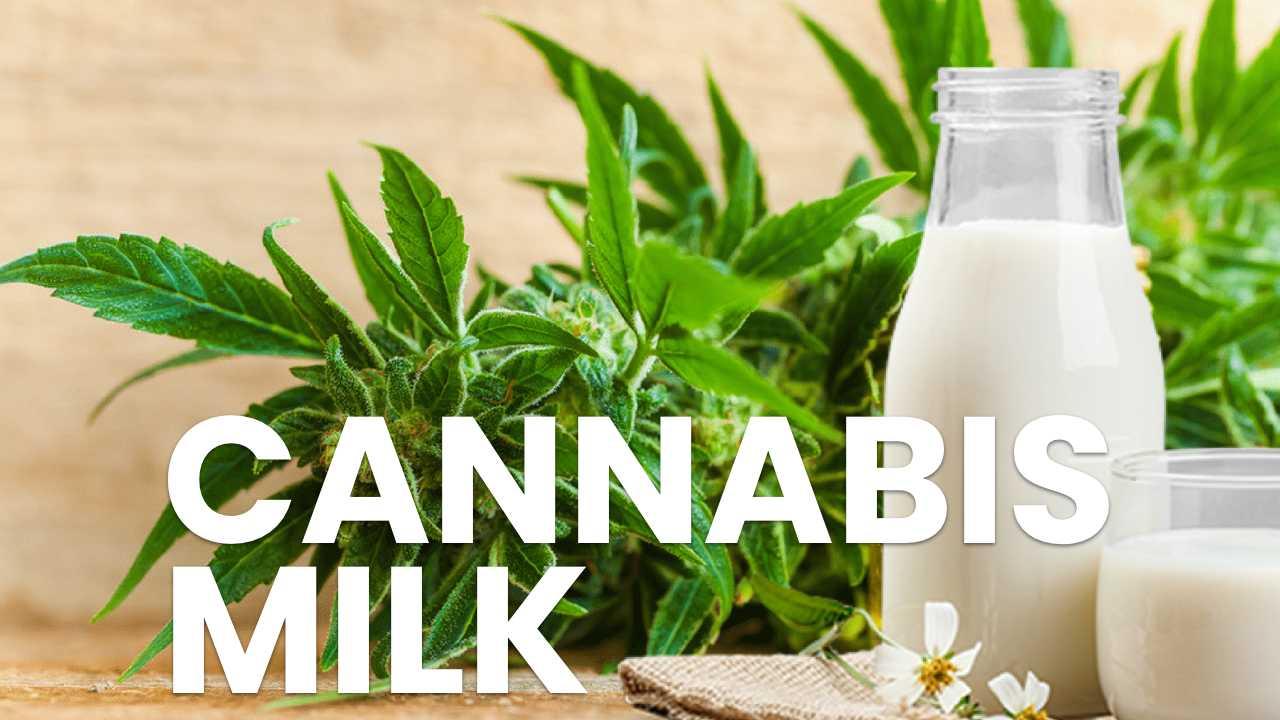 Cannabis milk leche de cannabis marihuana weed ganjah jachiz wax dab bho