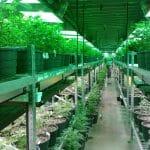 05 Marihuana, Cannabis, Medical, Medicinal, Chile, Porcentaje, Ley, Aprobación, Recreativo, Growcenter
