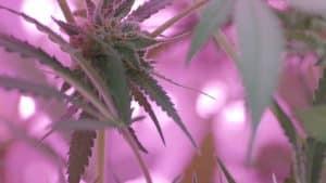 06 Marihuana, Cannabis, Seedo, Seedo lab, Laboratorio, Medicinal, Tecnología