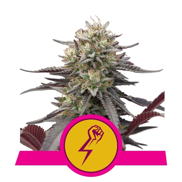 royal queen seeds semillas granel mayor minorista wedding gelato growshop growcenter.cl