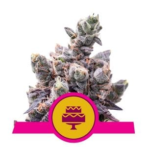 royal queen seeds semillas granel mayor minorista wedding gelato growshop growcenter.cl
