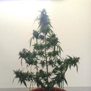 magnum seed buddha grow shop